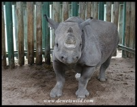 Adult Black Rhino at a rehab centre for poaching survivors