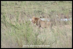 Big male lion staking his claim to a sandbank on the Sabie River