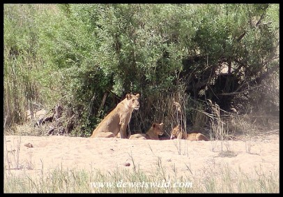 Pride of lions on a sandbank near Lower Sabie