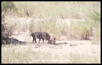 Mating pair of lions on the bank of the Sabie River