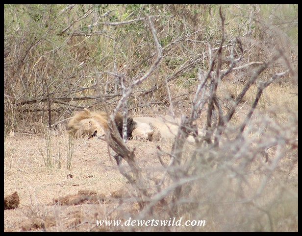 Lone male resting near Lower Sabie