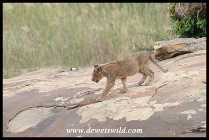 Lion cub at Lubyelubye