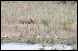 Male and female lion walking the river bed in front of Lower Sabie Rest Camp
