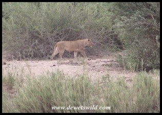 Lioness on a sand bank in the Sabie River
