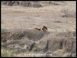 Two male lions, one considerable older than the other, sharing a rock that overlooks the Sabie River