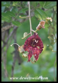 Sausage-Tree flower (photo by Joubert)