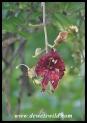 Sausage-Tree flower (photo by Joubert)