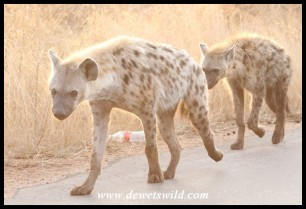 Spotted Hyenas on the move
