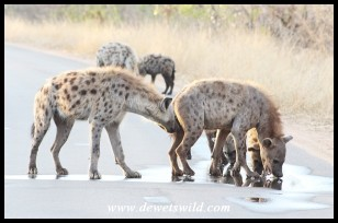 Spotted Hyenas licking rainwater from the road