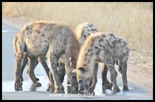 Spotted Hyenas licking rainwater from the road (photo by Joubert)