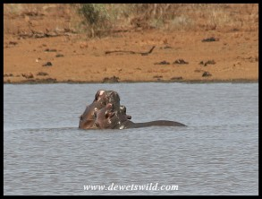 Sparring hippos (photo by Joubert)