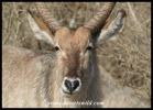 Waterbuck close-up (photo by Joubert)