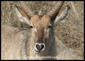 Waterbuck close-up (photo by Joubert)