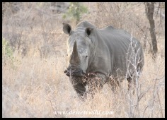 Magnificent White Rhino bull