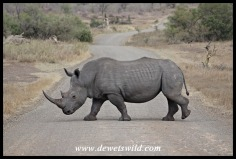 Where to for our rhinos?