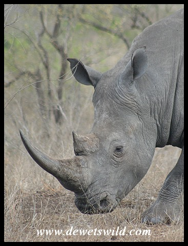 White Rhino (photo by Joubert)