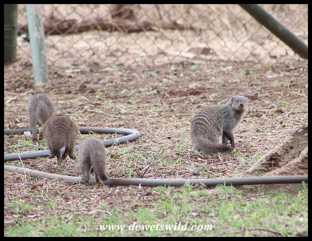 Banded Mongooses doing their early morning rounds Crocodile Bridge Rest Camp