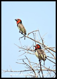 Black-collared Barbets