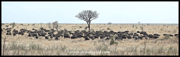 Buffalo herd on the plains north of the Sabie