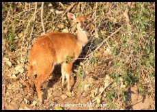 Bushbuck lamb on the banks of the Vurhami Spruit