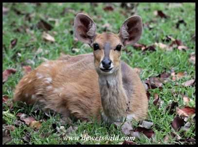 Bushbuck ewe at rest in Crocodile Bridge Rest Camp