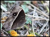 Common Bush Brown (dry season form)