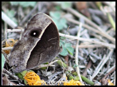 Common Bush Brown (dry season form)