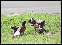 Two pairs of Common Myna fighting over a nest
