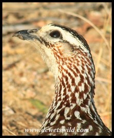 Crested Francolin (photo by Joubert)