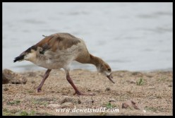 Egyptian Goose gosling on the banks of Mpondo Dam