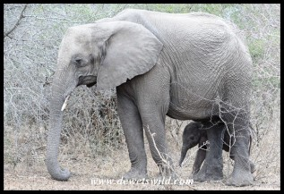 Elephant cow and tiny calf