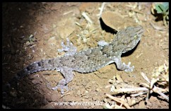 Turner's Thick-toed Gecko in Crocodile Bridge Rest Camp