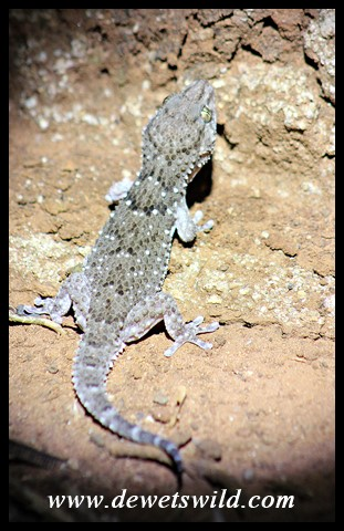 Turner's Thick-toed Gecko