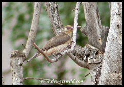 Female Greater Honeyguide