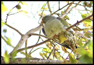 African Green Pigeon in a Jackalberry