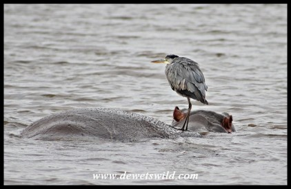 Grey Heron using a hippo as a fishing island at Sunset Dam