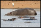 Pod of Hippos in Sunset Dam