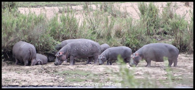 Pod of hippos seen in the river from Crocodile Bridge