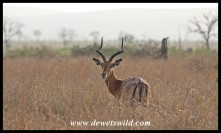 Impala ram in the long grass of the Lebombo plains, along the S28 between Crocodile Bridge and Lower Sabie