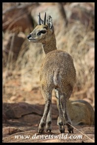 Klipspringer ram at Mlondozi Picnic Site