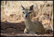 Klipspringer ewe at Mlondozi Picnic Site