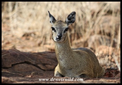 Klipspringer ewe at Mlondozi Picnic Site