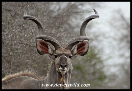 Magnificent Kudu bull
