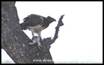 Martial Eagle with its Scrub Hare prey