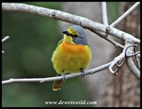 Orange-breasted Bush Shrike
