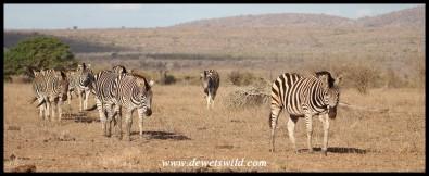 Herd of Plains Zebra on the move