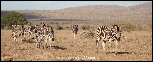 Herd of Plains Zebra on the move