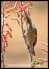 Female Scarlet-chested Sunbird
