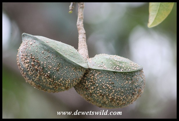 Toad Tree pods