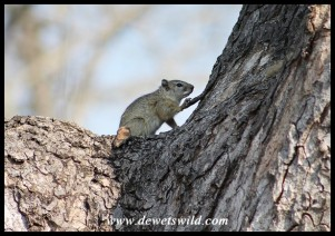 Tree Squirrel